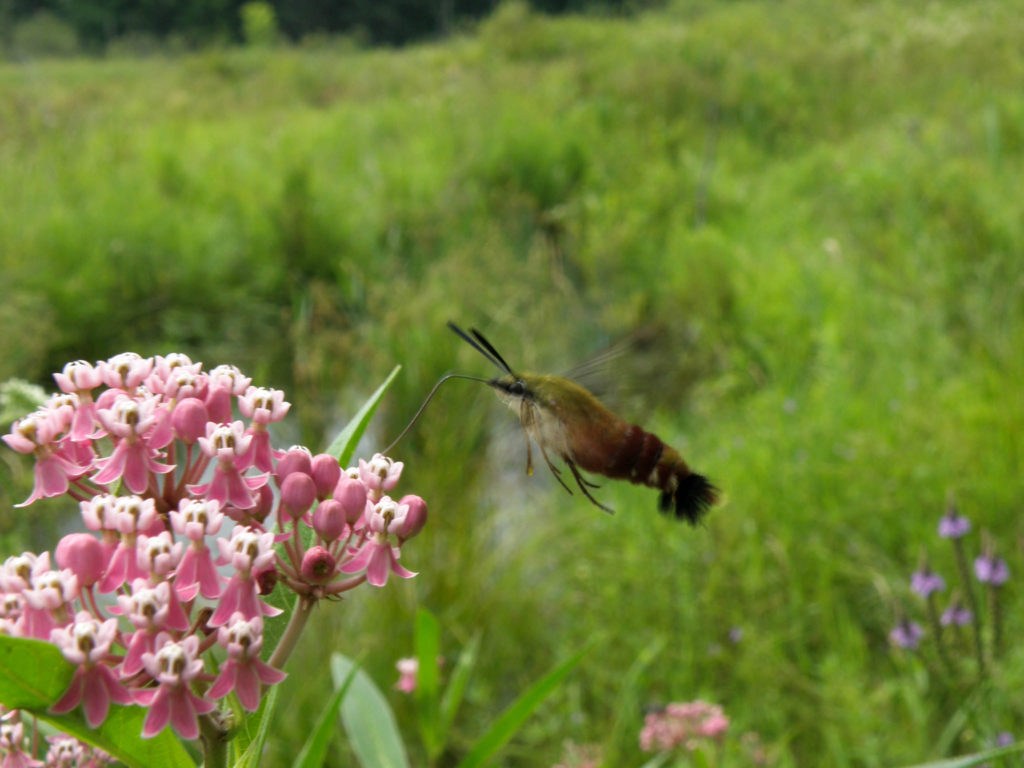 Hummingbird clearwing moth on Swamp milkweed (Asclepias incarnata). McLean bog