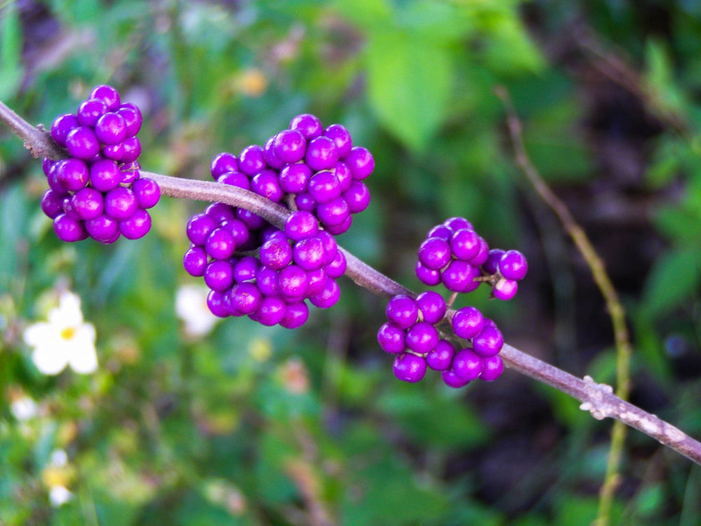 Beautyberry (Callicarpa americana, Verbenaceae). Hollywood, FL.