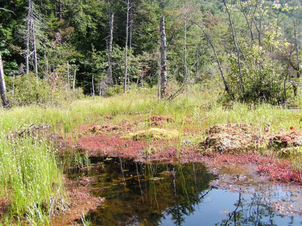 Sundew Drosera intermedia Adirondacks Carnivorous plant, Bog plant