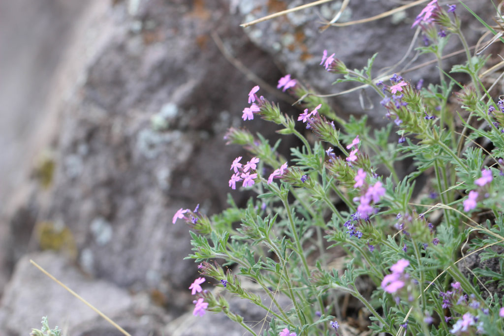 Mock dakota vervain (Glandularia bipinnatifida). Reserve, NM