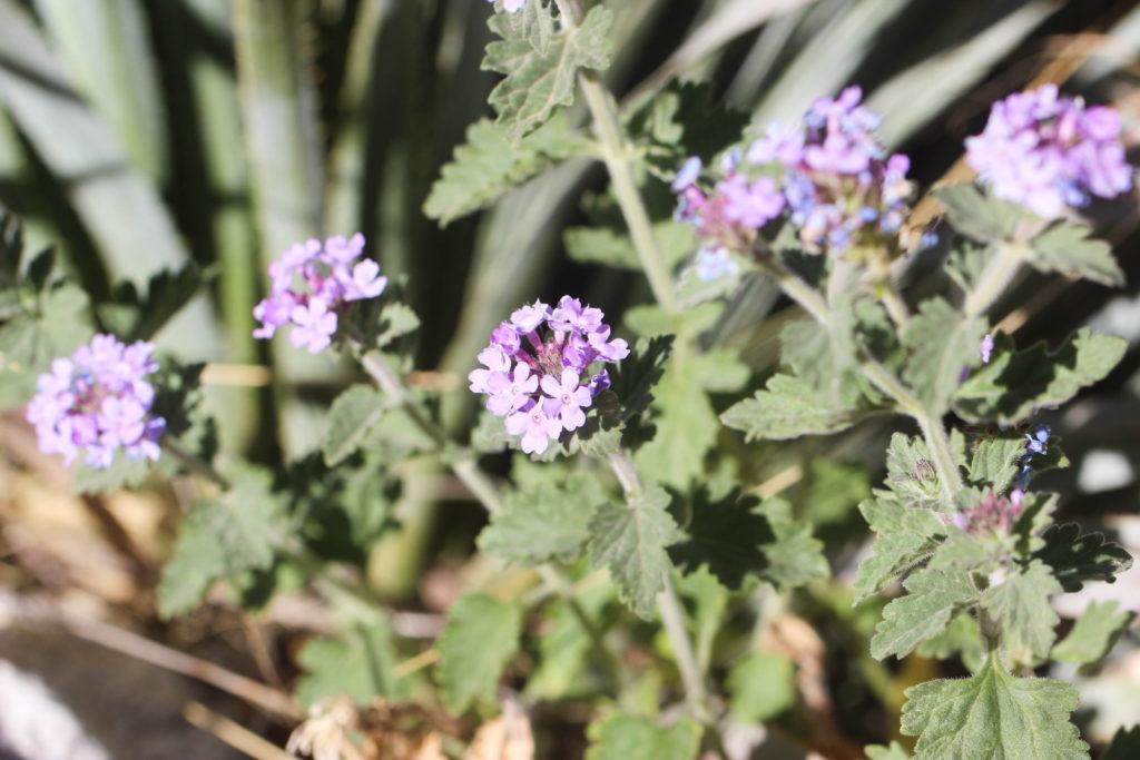 Mock vervain (Glandularia gooddingii). Coronado NF, AZ