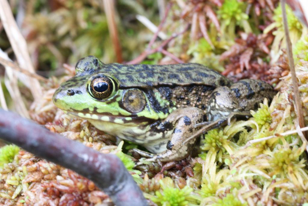 Green frog Rana clamitans. McLean bog
