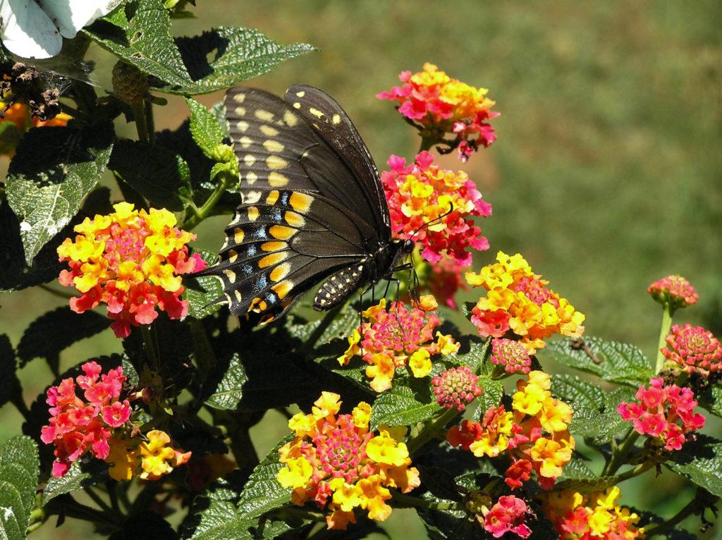Eastern black swallowtail (Papilio-polyxenes) on Lantana camara. Miraflor, Nicaragua