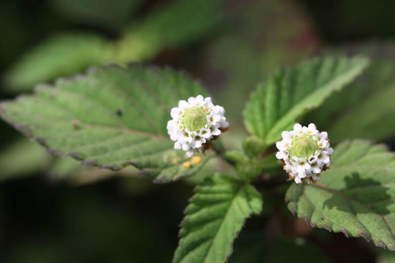 Orozule (Phyla dulcis). Miraflor, Nicaragua