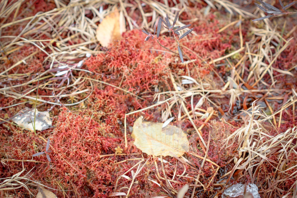 Sphagnum moss, McLean bog