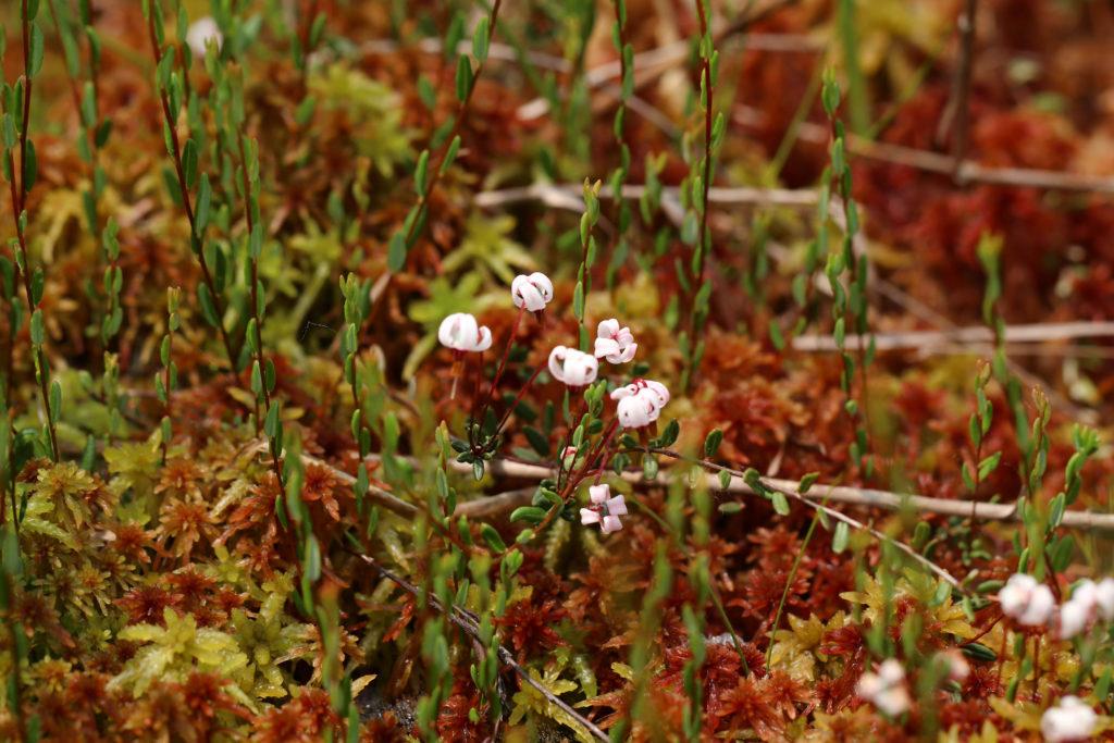 Cranberry, Vaccinium oxycoccos, Wild food, Bog plant