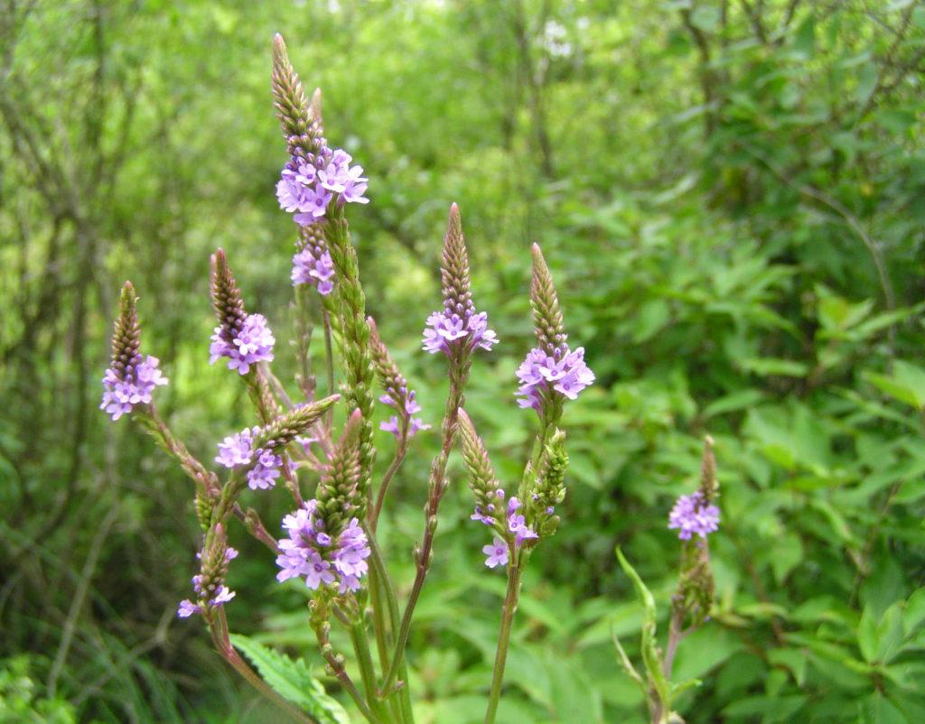 Blue vervain (Verbena hastata). Ithaca, NY