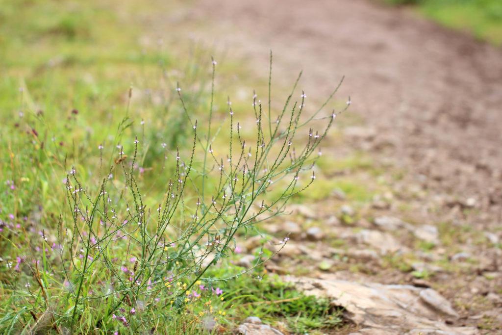 Vervain (Verbena officinalis). Cheddar, England
