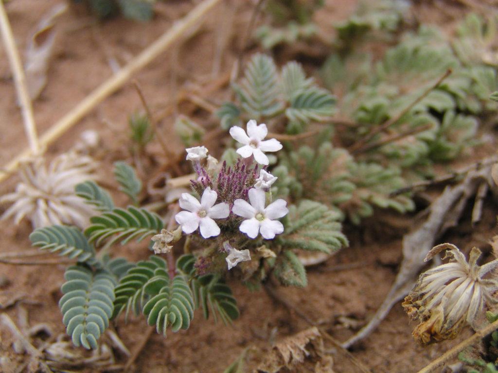 Verbena pumila-Verbenaceae-Hairy vervain-Big Bend, TX